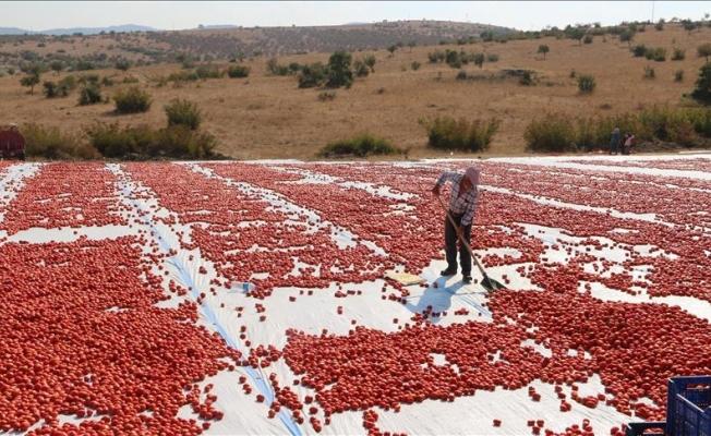 Domatesin kilogramı tarla hasadıyla 1 liraya düştü