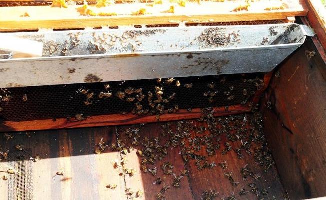 'Toplu arı ölümleri' yüzde 41'e ulaştı