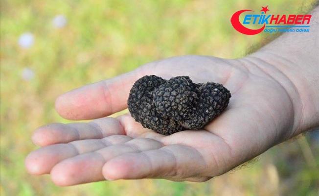 Amasya'da trüf mantarı tespit edildi