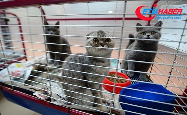 Yurda kaçak getirilen İskoç kedileri için bin kişi sıraya girdi