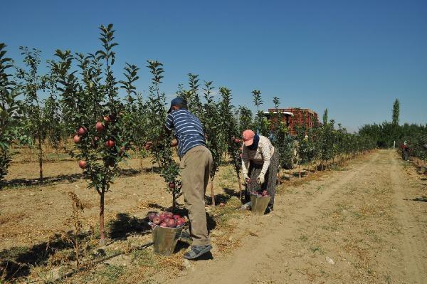 Elma deposu Niğde'de hasat başladı
