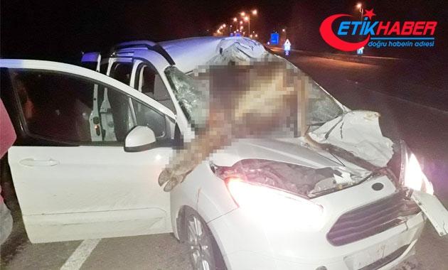Aracın çarptığı inek ön camdan içeri girdi