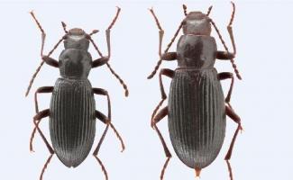 Ege Üniversitesi'nin adı keşfedilen böcek türüne verildi