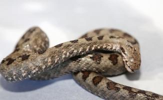 Ordu'da boynuzlu engerek yılanı vatandaşları korkuttu