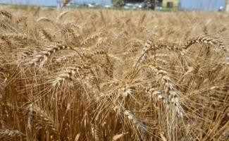 Buğday ekim alanı azalıyor ama verim artıyor