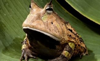 """""""Boynuzlu kurbağa"""" dinozor yiyebilecek çeneye sahip"""