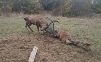 Tel örgüye takılan 2 geyikten biri kurtarıldı