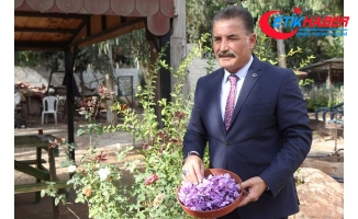Mersin'de dünyanın en pahalı baharatı safran yetiştirildi