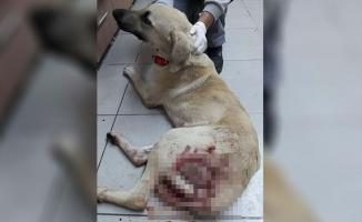 Bodrum'da bir sokak köpeği daha av tüfeğiyle yaralandı