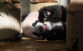 Japonya'da panda yavrusu görücüye çıktı