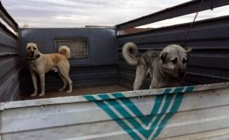Köpek dövüştürenlere operasyon