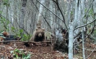 Kapana yakalanan ayı kurtarıldı