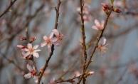 Eskişehir'de badem ağaçları çiçek açtı