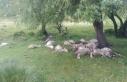 Simav'da yıldırım düşmesi sonucu 23 küçükbaş...