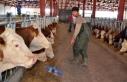 Devlet desteğiyle günde 2,5 ton süt üretiyor