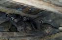Kümeste bulunan kınalı keklikler doğaya salındı