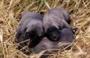Kangal köpeklerinin yavrusunu yeme sebebi hormon...