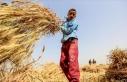En fazla çocuk işçi tarım sektöründe