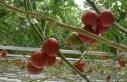 Batı Akdeniz 4 ayda 62 milyon dolarlık domates ihraç...