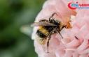 Polenleyicilerin baş aktörü arıların yüzde 40'ı...