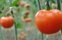 İhracat düştü, domates dibe vurdu
