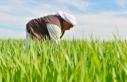 Diyarbakır'da buğday ve arpa üreticisini sevindirdi