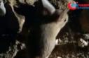 Kanguru faresine benzeyen Arap tavşanı görüntülendi