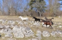 Göktepe Yaylası'nda yılkı atları görüntülendi