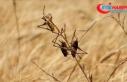 Çöl çekirgeleri Afrika Boynuzu'nu istila etti