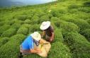 Rize'den 11 ayda 7,2 milyon dolarlık çay ihraç...