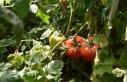 Günedoğru domatesinin üretimi yaygınlaştırılacak
