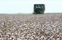 Çukurova çiftçisi alternatif ürünlere yöneldi...