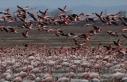Gala Gölü'nün 'pembe tüylü misafirleri'...