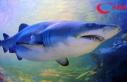 Okyanuslardaki köpek balığı ve vatoz popülasyonu...