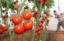 Rusya'nın kotayı arttırması domates piyasasını...