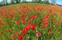 Kızılırmak Deltası ilkbaharda açan çiçeklerle...