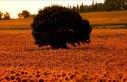 Samsun'da ayçiçeği tarlaları doğal fotoğraf...