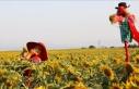 Tekirdağ'da sarıya bürünen ayçiçeği tarlalarında...