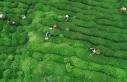 Çay bahçelerinin budanması projesinin süresi 7...