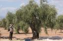 Kilis'te erken zeytin hasadı ile zeytinyağı...