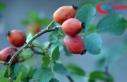 Sarıçam ormanlarına dikilen meyve fidanları sayesinde...