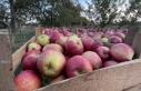 Kastamonu'da yaklaşık 23 bin ton elma rekoltesi...