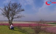 Amik Ovası'nda renk cümbüşü yaşanıyor