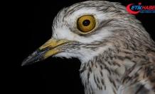 Verici takılan kıyı kuşunun göç sırasında çölleri geçtiği tespit edildi