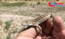 Türk bilim insanları yeni bir kertenkele türünü kayıt altına aldı