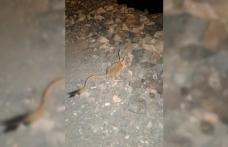 Tunceli'de Arap tavşanı görüntülendi