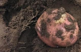 Peru'da Mars'a yakın koşullarda patates...