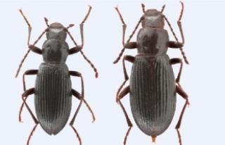 Ege Üniversitesi'nin adı keşfedilen böcek...