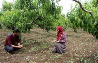 Elazığ'da ceviz büyüklüğünde dolu ekinlere...