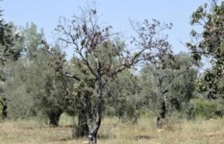 23 bin zeytin ağacı susuz kaldı